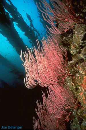 Red Gorgonian Seafan
